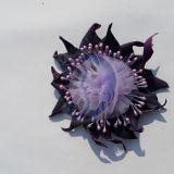 Violetinis jurginas